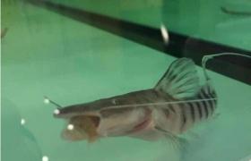 优德88com底层配鱼,斑马鸭嘴