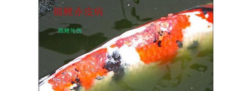 锦鲤鱼烂肉